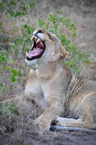 LionYawn