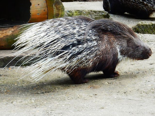 Porcupine Repellent | Get Rid of Porcupines | Shake-Away Fox urine