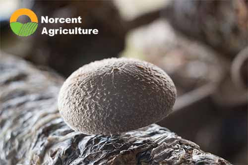 Management of Shiitake Mushrooms in Spring and Summer - Norcent Agriculture