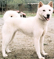 Korean Jindo Dog, a Spitz