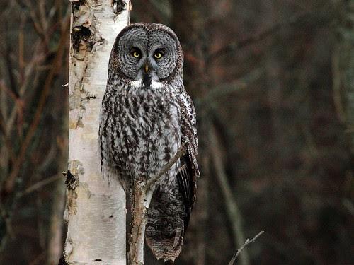 Great Gray Owl - 1260