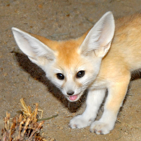 Fennec-Fox-Pup-7-23-10--034Tad-Motoyama2