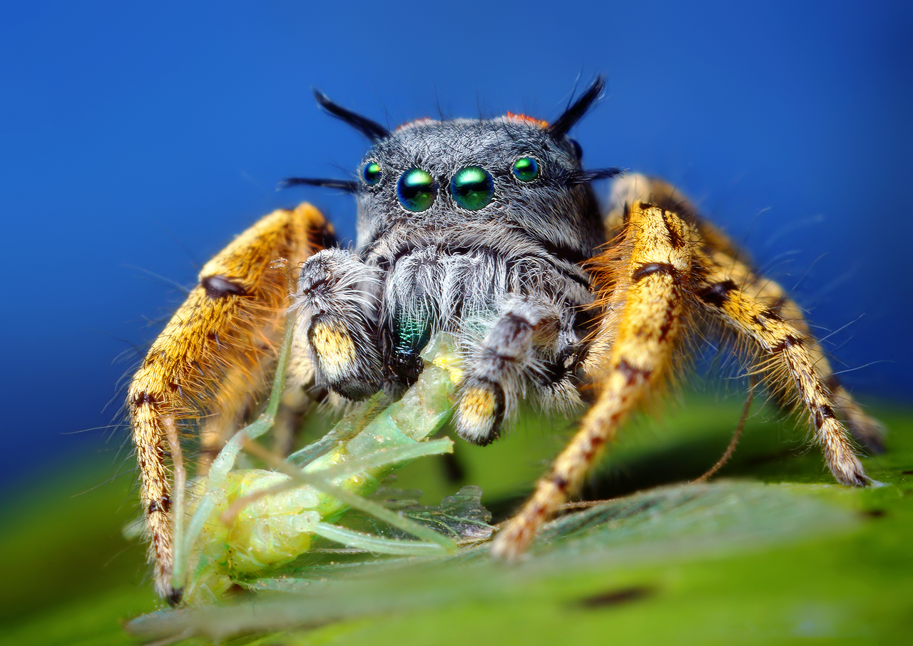 http://upload.wikimedia.org/wikipedia/commons/a/af/Adult_Male_Phidippus_mystaceus_feeding_on_a_Chrysopid.png