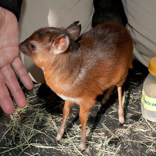 Newborn Baby Royal Antelope