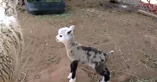 Baby Goat-Sheep Hybrid (Called a Geep, Of Course) Is Your New Favorite Animal