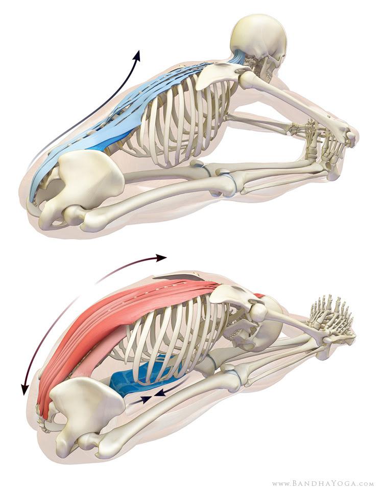 Estirar el músculo erector de paschimottanasana.