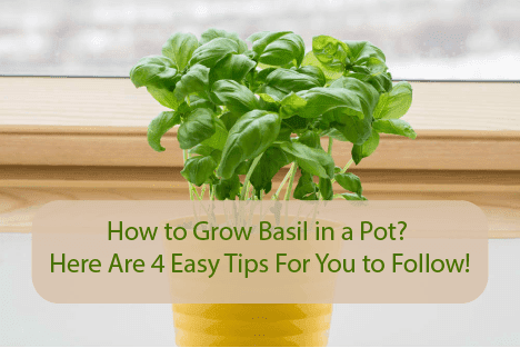 How to Grow Basil in a Pot? Here Are 4 Easy Tips For You to Follow!