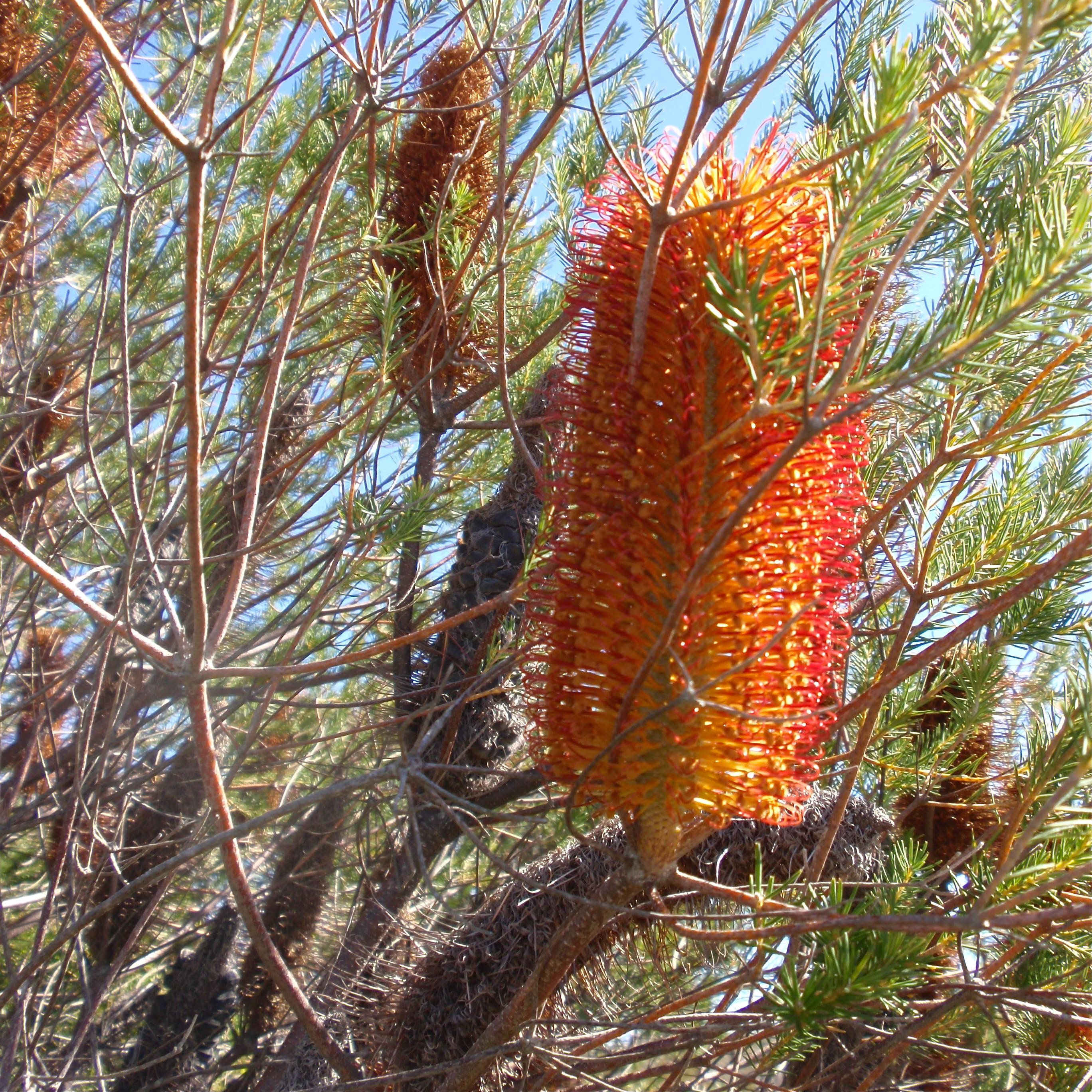 Lennox Head heath - orange banksia
