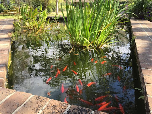 College of Charleston Koi Pond Offers an Escape from Studying Blues