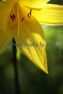 yellow day lily macro