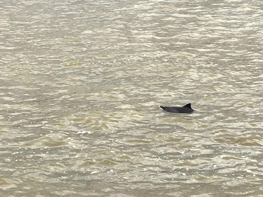 Dolphin spotted swimming in River Thames