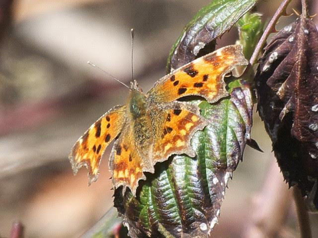 DSC_3780 Comma butterfly