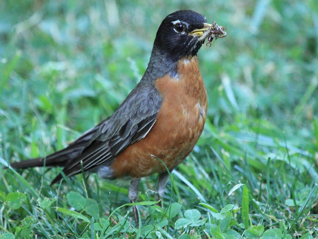 American Robin 20130617