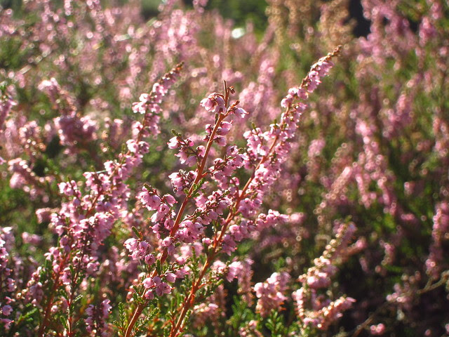 Heather above the Vale of Health