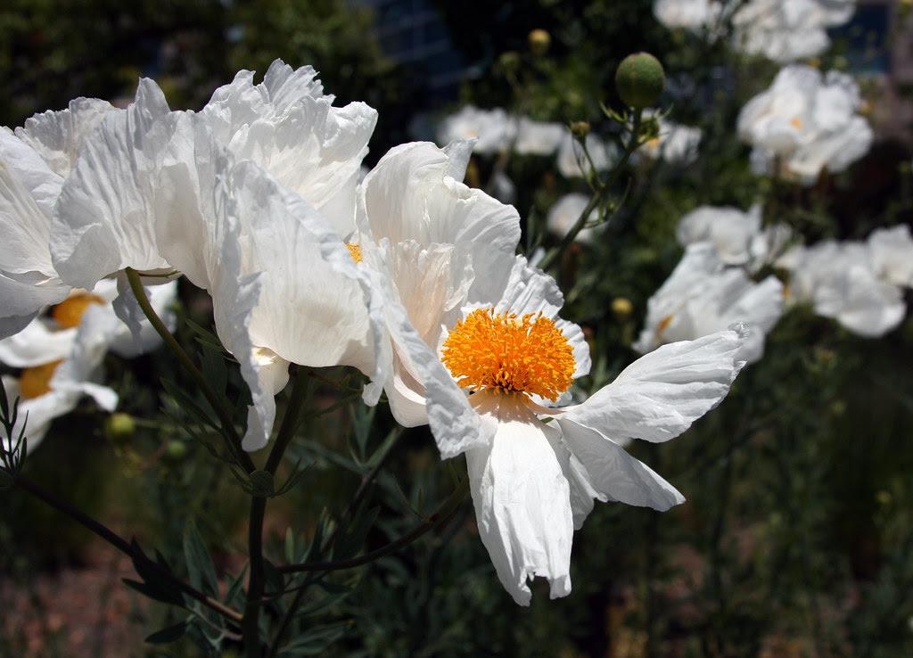 IMG_1951 Matalija poppies