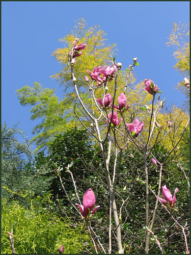 26 magnolia and new bamboo leaves