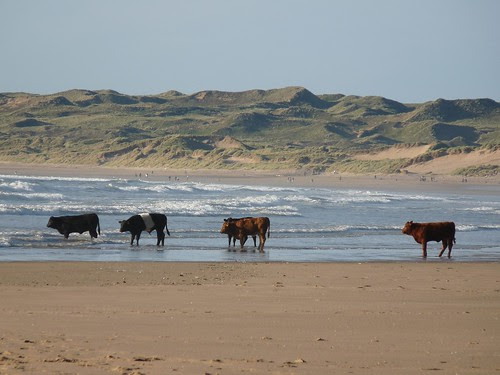 11575 - Cows on Rhossili Beach
