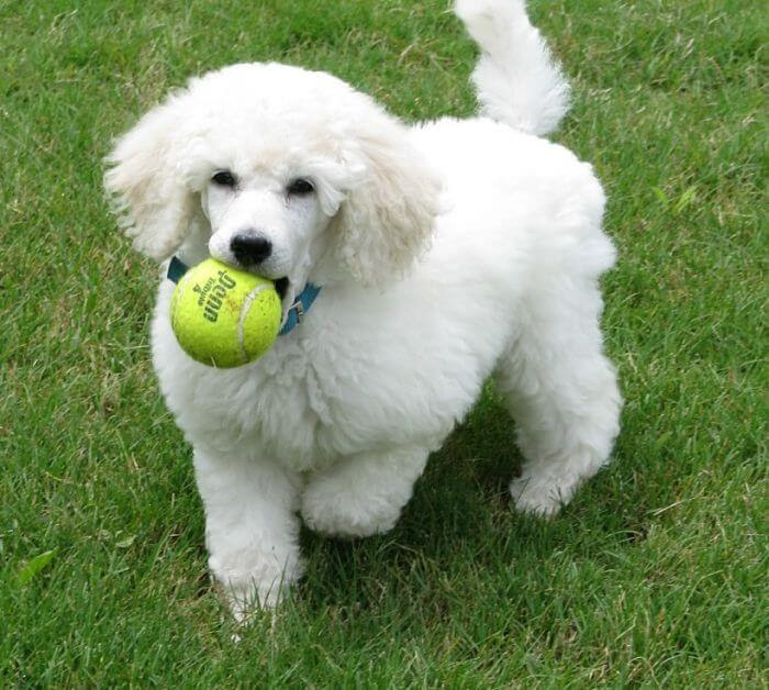 Perros French Poodle Ideales Para Niños Caniche Toys