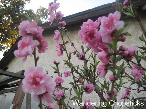 2.7 Nectarine Blossoms 2