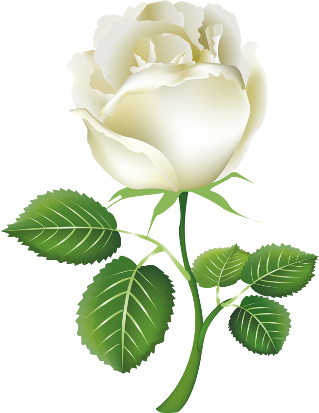 White Roses Png Images Free Download Flower Pixtures