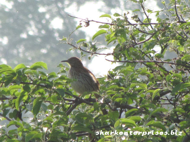 brown thrasher in a tree