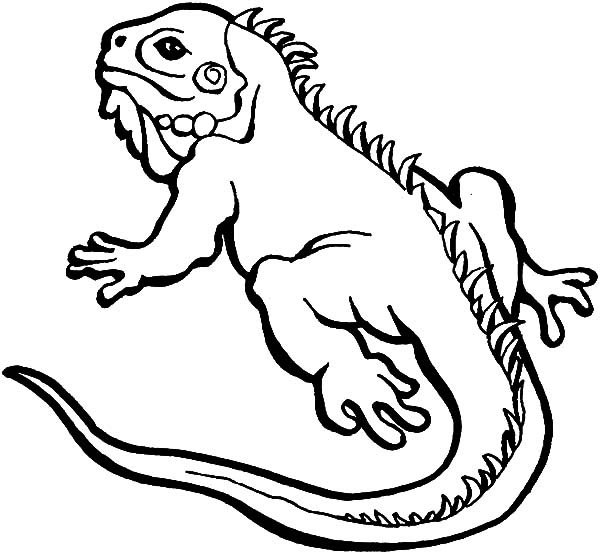 Alpha Male Iguana Lizard Coloring Pages - Download & Print ...