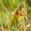 Oregon's silverspot butterflies inch toward more reintroductions