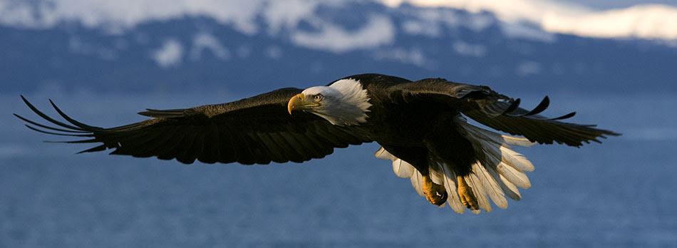 660 Koleksi Gambar Burung Rajawali Keren HD Terbaik