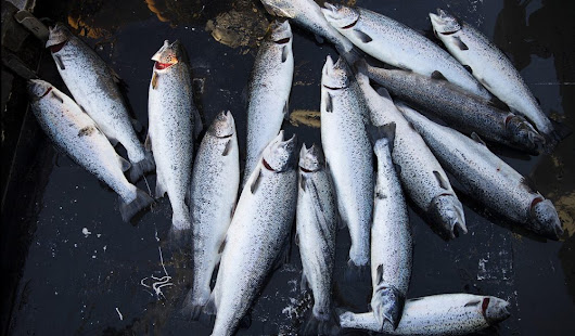 New Aquaculture Permits on Hold in Washington State