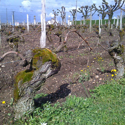 Old vines at Vieux Chateau Certan, 1 April 2010