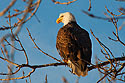 Bald Eagle along the Mississippi River, 2005.