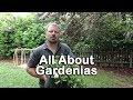 Landscaping Gardenia Bush