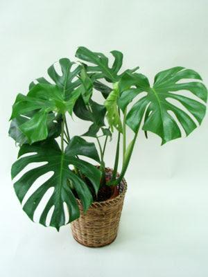 室内植物風水 - 寝室植物風水 : 植物と風水