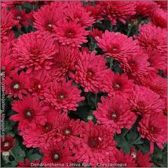 Dendranthema 'Lariva Red' - Chryzantema 'Lariva Red'