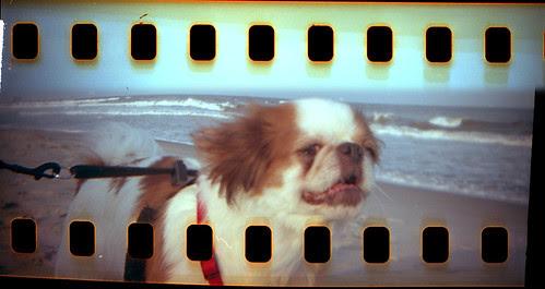 Little Ollie on Surf Patrol
