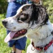 ADOPT Jesse! The Setter That Won't Set There in Troy, NY