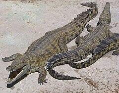 Cá sấu sông Nin