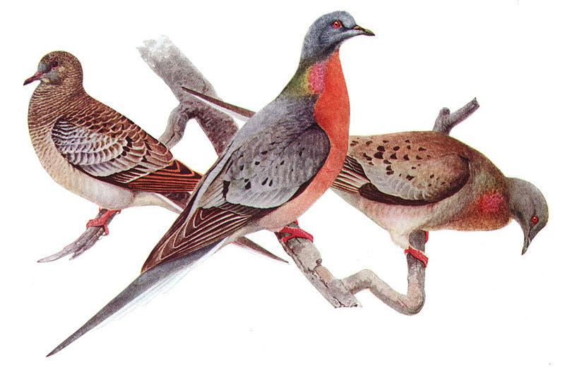 pombo passageiro macho e fêmea