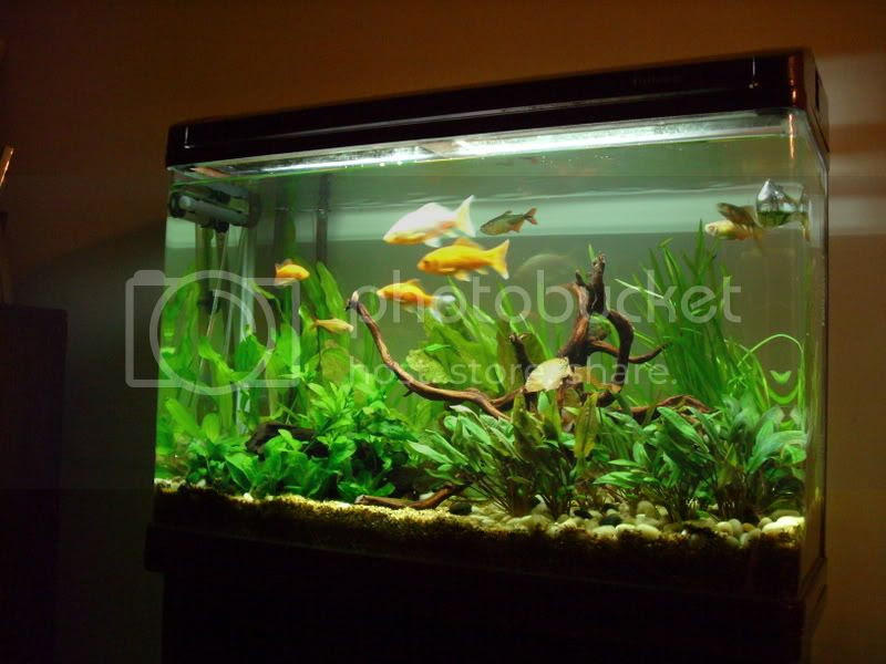 goldfish tank pictures. Re: Planted Goldfish Tank