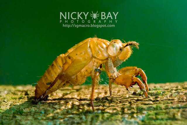 Cicada moult (Cicadidae) - DSC_7888