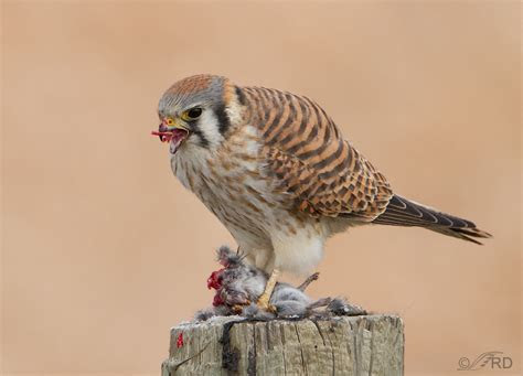 American Kestrels ? What They?ll Eat and What They Won?t. « Feathered Photography