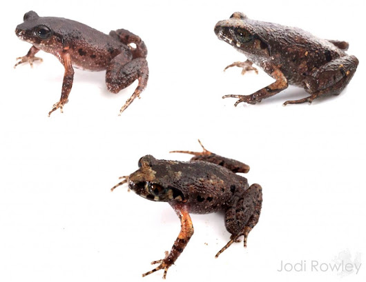 Identifying tricky frogs