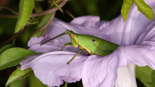 Grasshoppers, crickets, katydids, and their relatives are unconventional pollinators - Tech Explorist