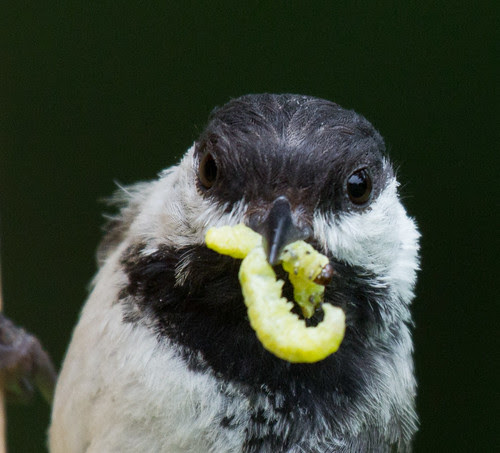 Black-capped Chickadee about to feed babies