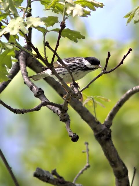Blackpoll Warbler 20130516