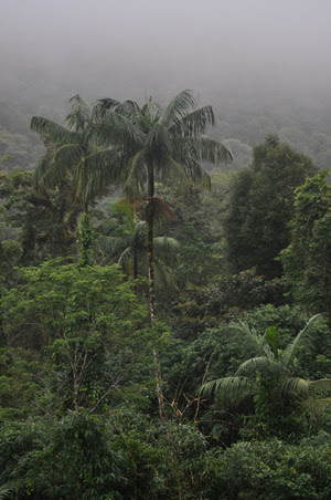 The jucara is the dominant palm tree in the Brazilian Atlantic forest. Its seeds are dispersed mostly by birds.