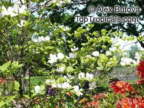 Cornus florida, Flowering Dogwood   TopTropicals.com
