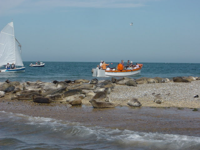 File:Seals Blakeney Point.jpg