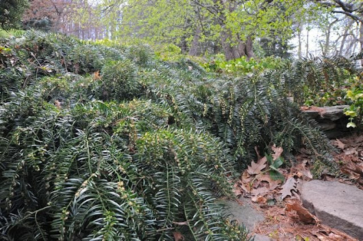 beloved conifer: prostrate japanese plum yew - A Way To Garden