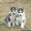 Adorable blue-eyed, black and white Siberian Husky puppies adop - Classified Ad